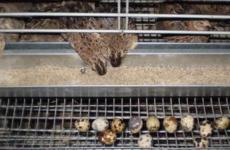 Экономим на корме перепелок – самостоятельное приготовление комбикорма