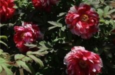 Украшаем цветник с помощью древовидного пиона