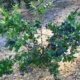 Садовая голубика – как и когда лучше высаживать