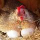 Интересные способы повышения яйценоскости несушек