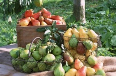 Интересно о том, когда начинает плодоносить груша