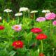 Прекрасная циния – мечта цветовода