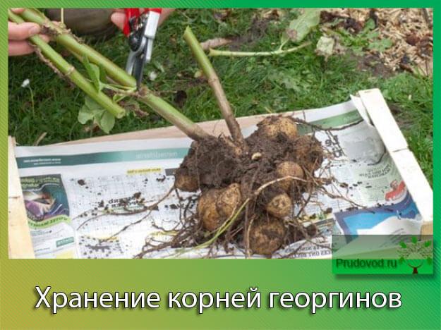 Хранение корней георгинов