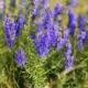 Выращиваем иссоп – нежное растение и целебное средство