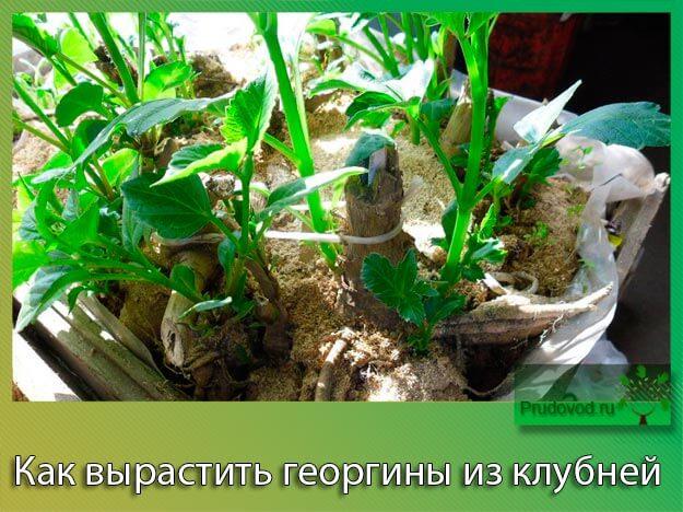Как вырастить георгины из клубней
