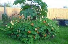 Выращиваем клещевину – все основные правила ухода