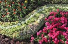 Каменная роза – украшение вашего цветника