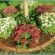 Выращивание осенней красавицы – просто и увлекательно