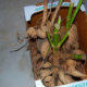 Прекрасные георгины – как сохранить корни до весны