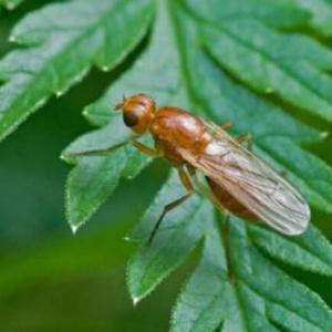 Интересные способы уничтожения или изгнания морковной мухи
