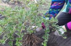 Правильный уход за красавцем-крыжовником – гарантия щедрого урожая
