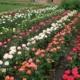 Бордюрные розы – изысканное украшение участка