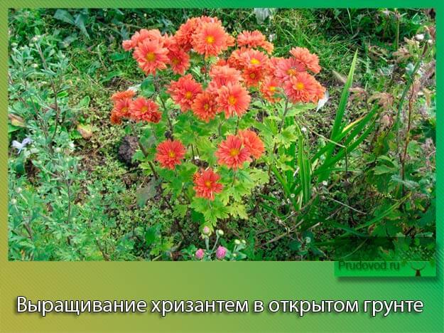 Когда сажают хризантемы в открытый грунт 69