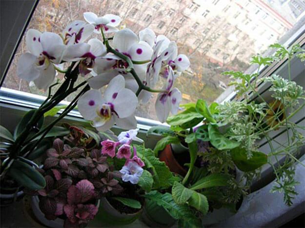 Размножение хризантемы черенками из букета