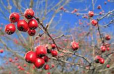 Простые способы размножения боярышника семенами