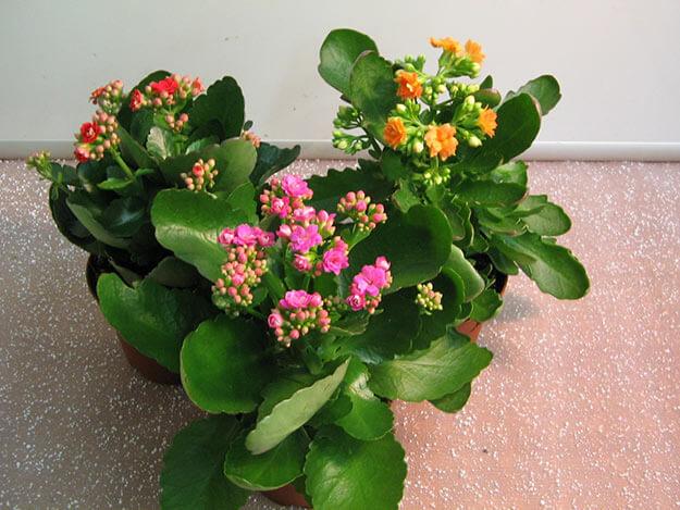 цветы Каланхоэ