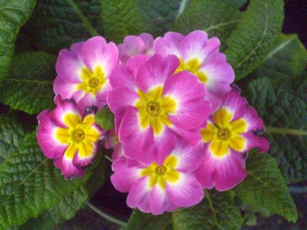 цветы Комнатная примула