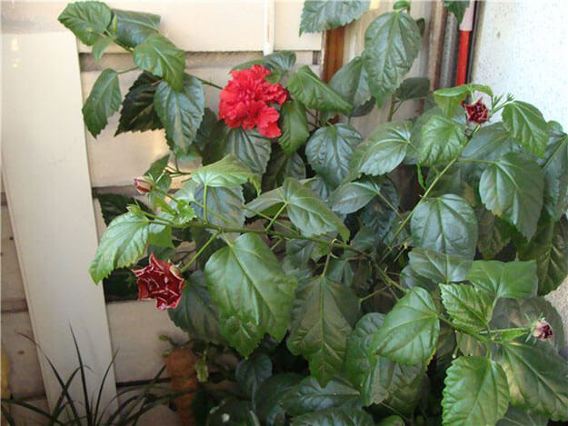 цветы Роза китайская
