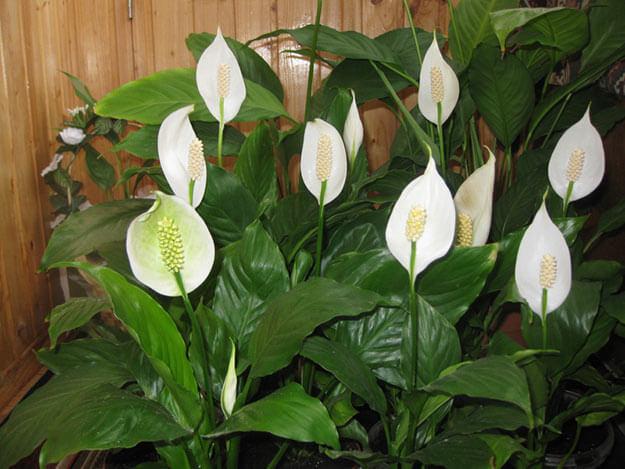 цветы Спатифиллум
