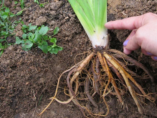 корень лилейника