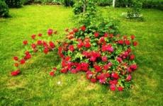 Цветение все лето – выбираем почвопокровные розы