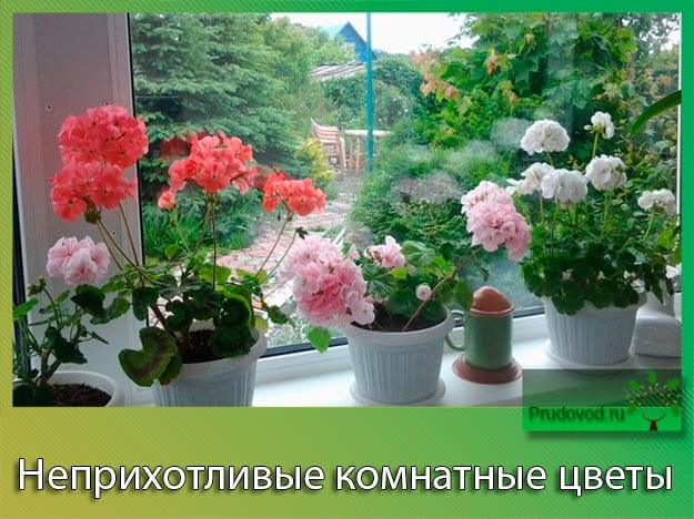 Неприхотливые комнатные цветы