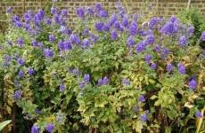 Растение родом из детства – чудесный аконит