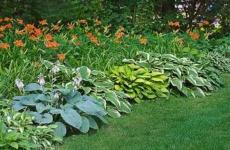 Осень – не преграда для высаживания лилейников