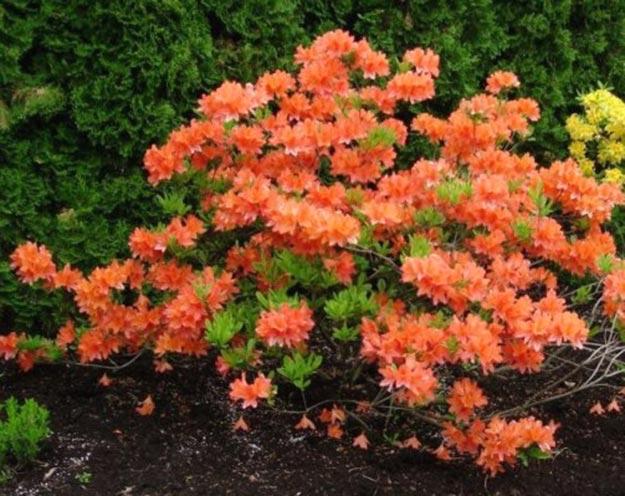 оранжевый Рододендрон