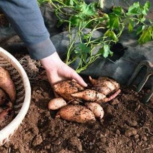 Хитрости и секреты выращивания батата