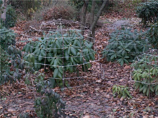 подготовка Рододендрона к зиме