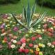 Портулак – выращиваем разноцветный коврик из цветов