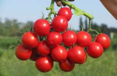 Сибирская селекция томатов – улучшаем урожай