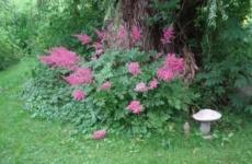 Шикарная астильба – хитрости и секреты выращивания