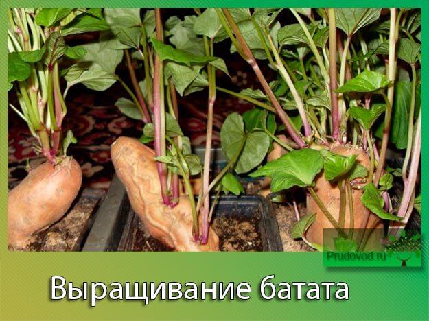 Выращивание из одного корешка 131