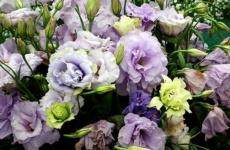 Секреты по выращиванию прекрасной эустомы