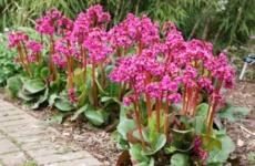 Бадан – неприхотливый многолетник для вашего цветника