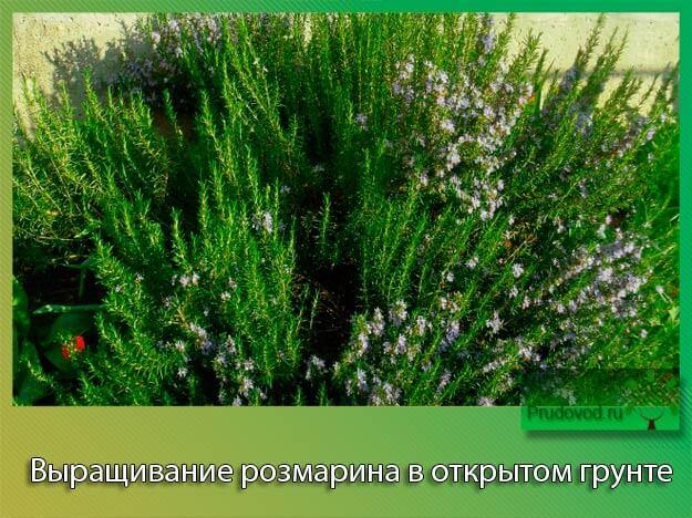 Выращивание розмарина в открытом грунте. Посадка и уход за