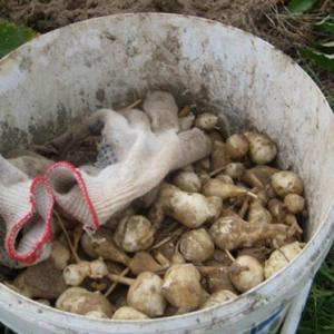 Выращиваем топинамбур – хитрости осенней посадки