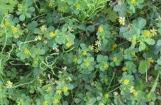 Интересное выращивание люцерны и улучшение почвы