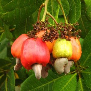 Кешью – насколько опасно увлечение вкусными орешками?