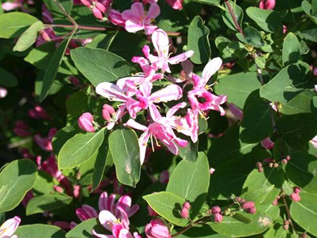 цветение жимолости
