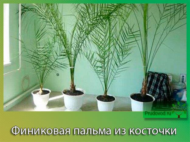 Как сажать финик канарский из магазинных семян 14
