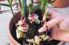 Экзотика на подоконнике – секреты выращивания имбиря