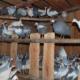 Знакомимся с царской птицей – цесаркой