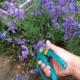 Нежная лаванда на участке – все тайны выращивания