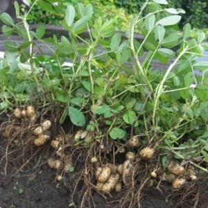 Арахис – увлекательно о выращивании земляных орешков
