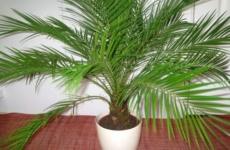 Маленькие секреты выращивания из косточки финиковой пальмы