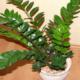 Удивительный замиокулькас – интересные секреты и необычные хитрости в выращивании
