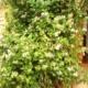 Увлекательные хитрости выращивания жимолости съедобной
